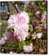 Flowering Almond Acrylic Print