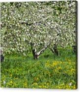 Flowering Apple Orchard Acrylic Print