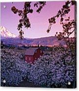 Flowering Apple Trees, Distant Barn Acrylic Print