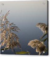 Flowering Cane Plant Acrylic Print