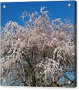 Flowering Cherry  Acrylic Print