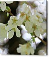 Flowering Cherry Tree 17 Acrylic Print