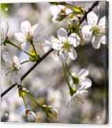 Flowering Cherry Tree Branch 4 Acrylic Print