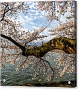 Flowering Cherry Tree Acrylic Print