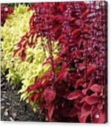 Flowering Coleus Acrylic Print