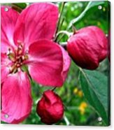 Flowering Crab Apple Acrylic Print