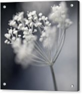 Flowering Dill Cluster Acrylic Print