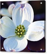 Flowering Dogwood Acrylic Print