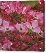 Flowering Dogwood Flowers 01 Acrylic Print