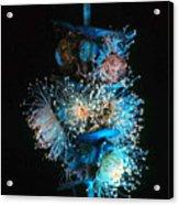 Flowering Eucalyptus Natural Light Acrylic Print