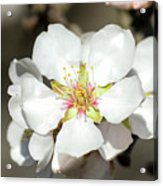 Flowering Fruit Tree Acrylic Print