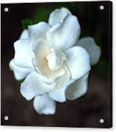 Flowering Gardenia Acrylic Print
