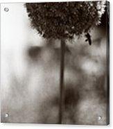 Flowering Garlic Acrylic Print