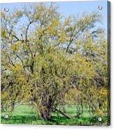 Flowering Huisache Tree  Acrylic Print