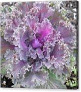 Flowering Kale Acrylic Print