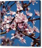 Flowering Of The Plum Tree 5 Acrylic Print