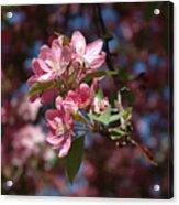 Flowering Pink Dogwood Acrylic Print