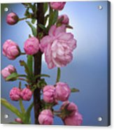 Flowering Pink On Blue Acrylic Print