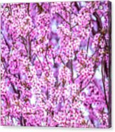 Flowering Plum Blossoms. Acrylic Print