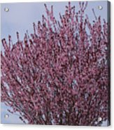 Flowering Plum In Bloom Acrylic Print