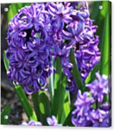 Flowering Purple Hyacinthus Flower Bulb Blooming Acrylic Print