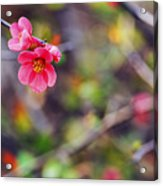 Flowering Quince In Spring Acrylic Print