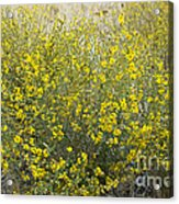 Flowering Tarweed Acrylic Print
