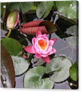 Flowering Water Lily Acrylic Print