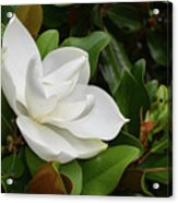 Flowering White Magnolia Blossom On A Magnolia Tree Acrylic Print