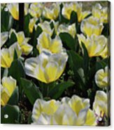 Flowering Yellow And White Tulips In A Spring Garden  Acrylic Print