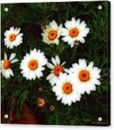 Flowering Yew Acrylic Print