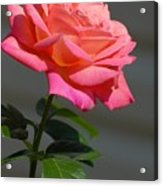 Flowers 186 Acrylic Print
