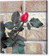Flowers And Bricks Acrylic Print
