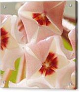 Flowers-hoya 1 Acrylic Print
