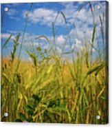 Flowers In The Wheat Acrylic Print