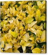 Flowers Of Domitilla Acrylic Print
