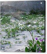 Flowers Of Ocotilla Acrylic Print