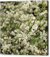 Flowers On A Plum Tree Acrylic Print