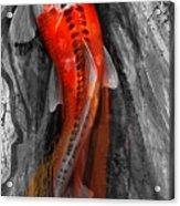 Flowing Koi Acrylic Print