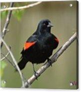 Fluffed Red-winged Blackbird Acrylic Print