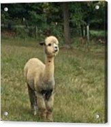 Fluffy Alpaca Acrylic Print