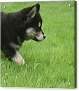 Fluffy Alusky Puppy Stalking In Green Grass Acrylic Print