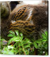 Fluffy As A Duck Acrylic Print
