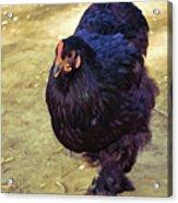 Fluffy Chicken Acrylic Print