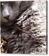 Fluffy Grey Putty Tat Acrylic Print