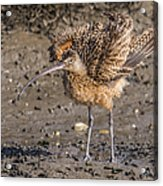 Fluffy Long-billed Curlew Acrylic Print