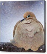 Fluffy Mourning Dove Acrylic Print