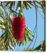Fluffy Reds At The Library Acrylic Print