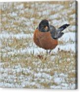 Fluffy Robin In Snow Acrylic Print
