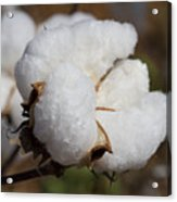 Fluffy White Alabama Cotton Acrylic Print